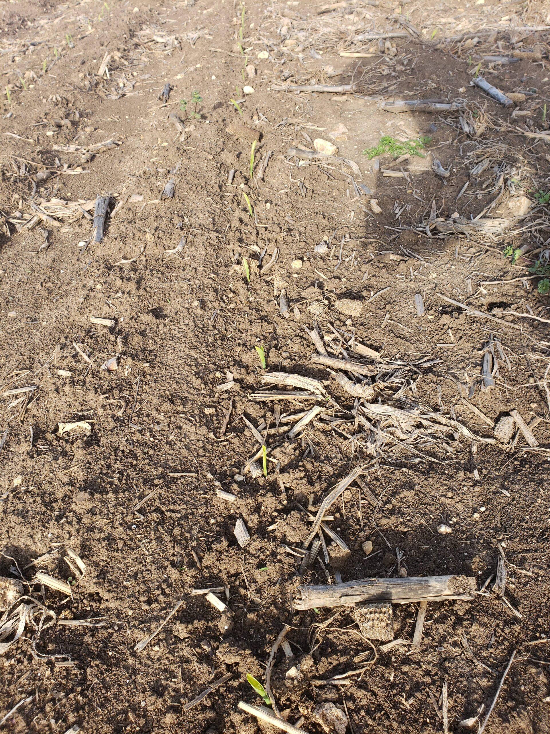 Corn planted with Germinator (Texas, 2020)